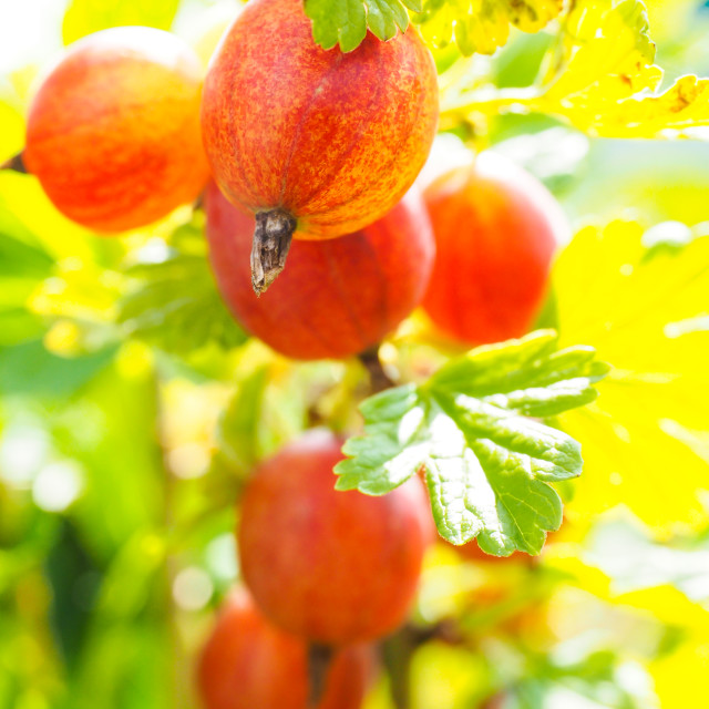 """Hinomeaki ribes at closeup on plant in sunlight"" stock image"