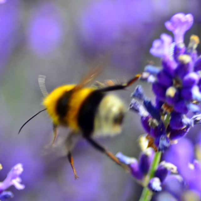 """Bumble bee flight"" stock image"