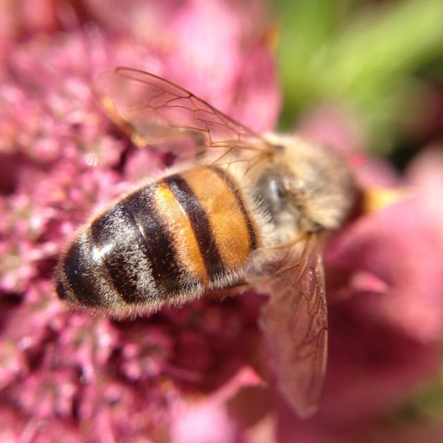 """Bee pollinating an astrantia flower"" stock image"