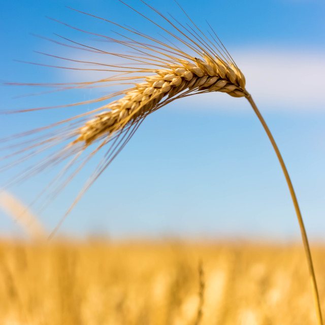 """Ear of Barley"" stock image"
