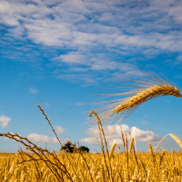 """Field of Barley"" stock image"