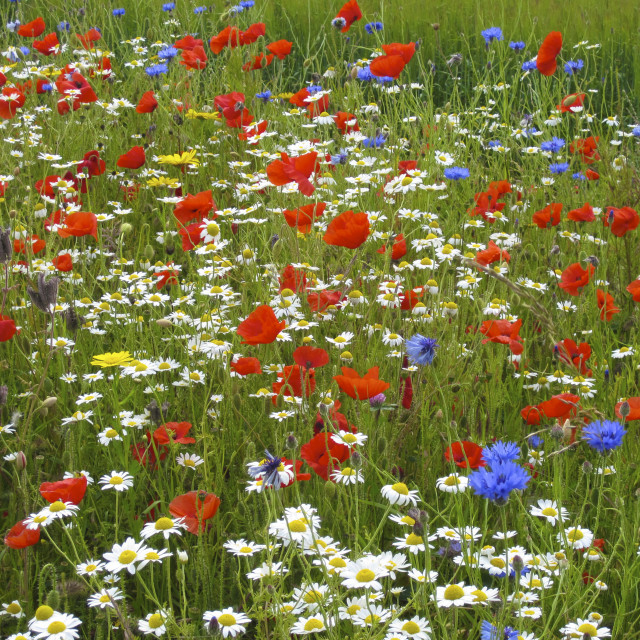 """Wild Flowers, Norfolk"" stock image"
