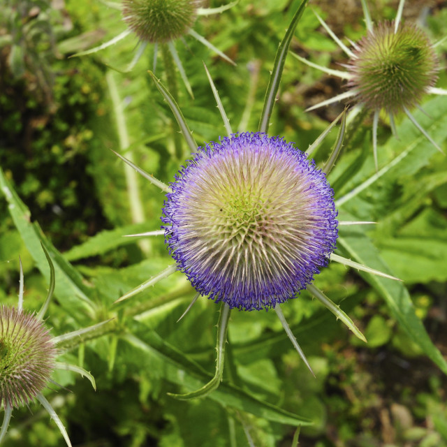 """Teasels"" stock image"