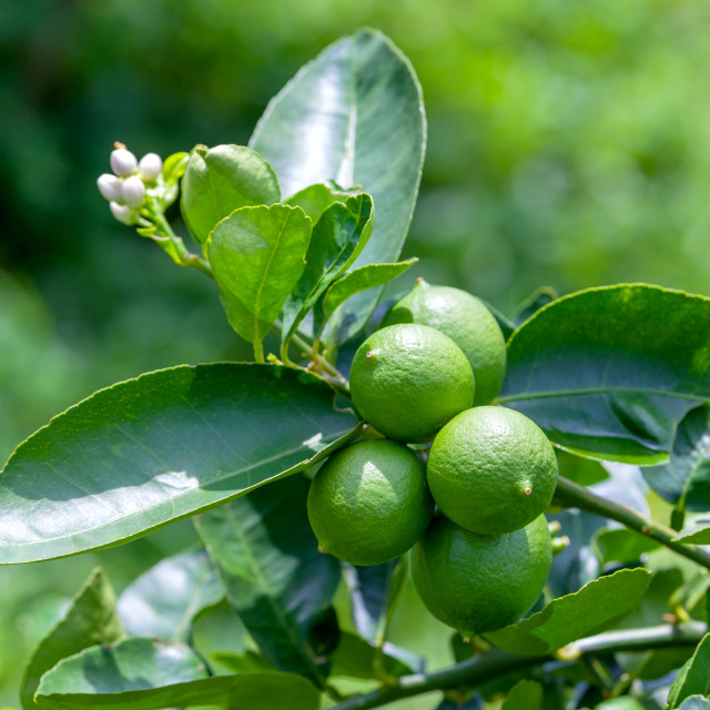 """Lime tree and fresh green limes on the branch in the lime garden"" stock image"