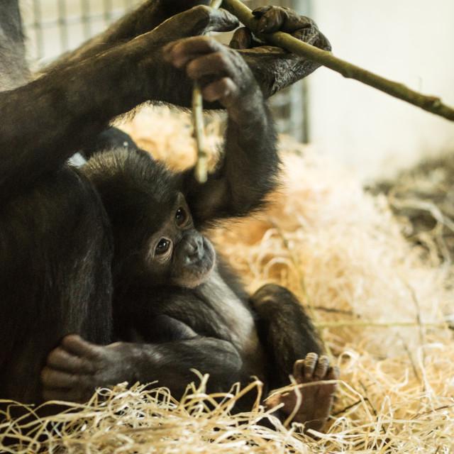 """Baby chimp"" stock image"