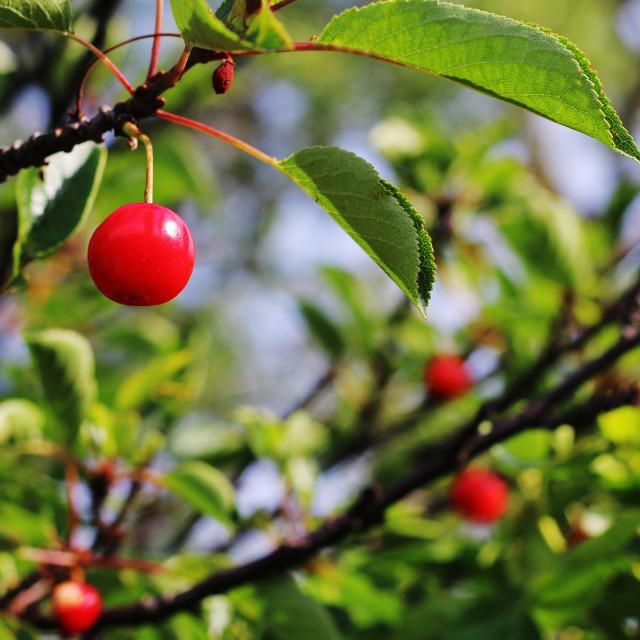 """""""cherry"""" stock image"""