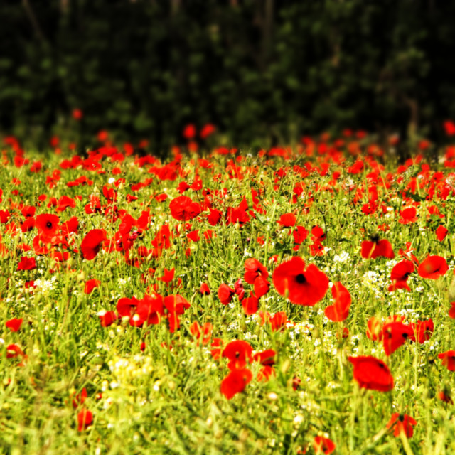 """Field of red and green."" stock image"
