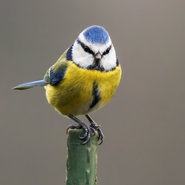 """""""Lovely blue tit atop a green pole"""" stock image"""