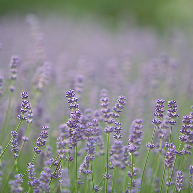 """Lilac Lavender"" stock image"