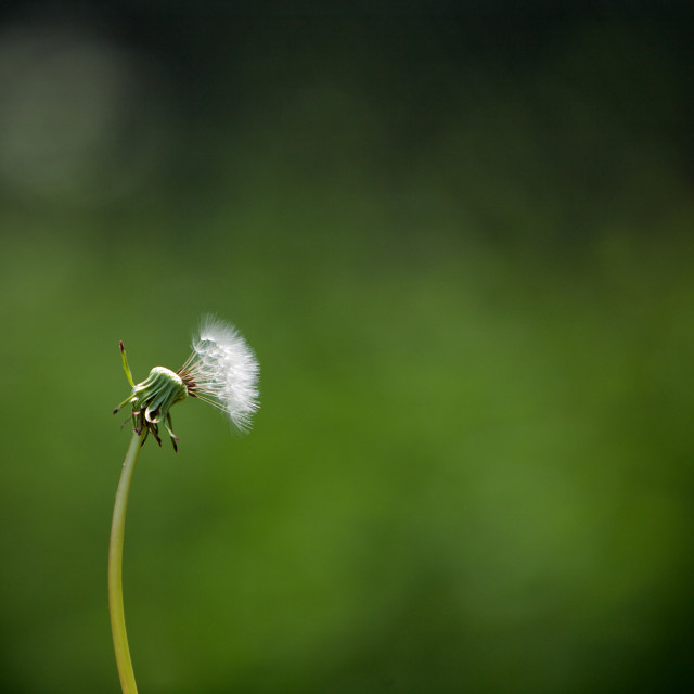 """Blown Dandelion Head in a Field"" stock image"