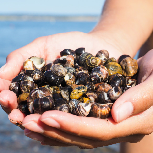 """Young female person with hands full of salt water snails on the beach"" stock image"
