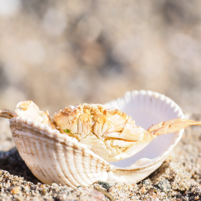 """Closeup of a crab hiding in a empty white clam in sand"" stock image"