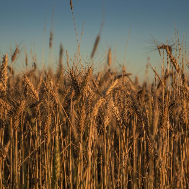 """Corn."" stock image"