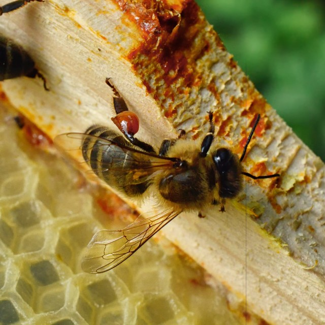 """Bees 4 returning with Propolis"" stock image"