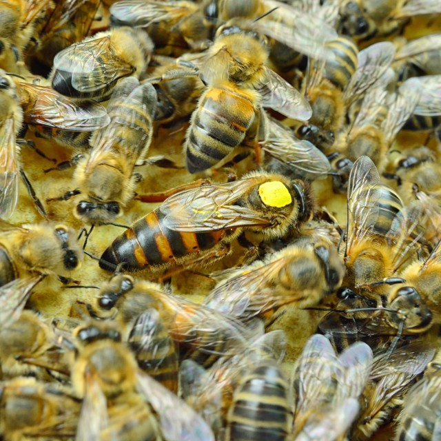"""Bees 9 the queen"" stock image"