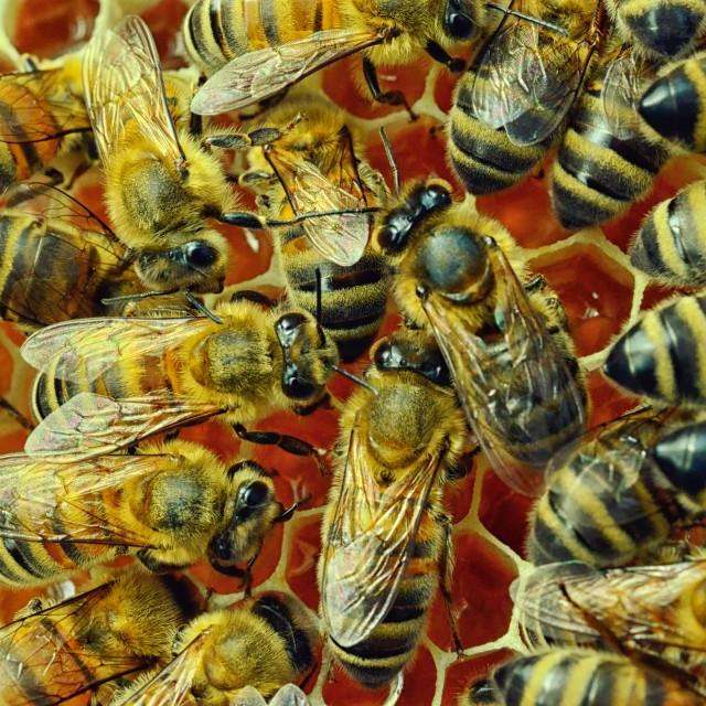 """Bees17 sharp"" stock image"