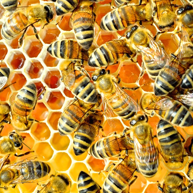 """""""Bees 13 storing Honey and Propolis"""" stock image"""
