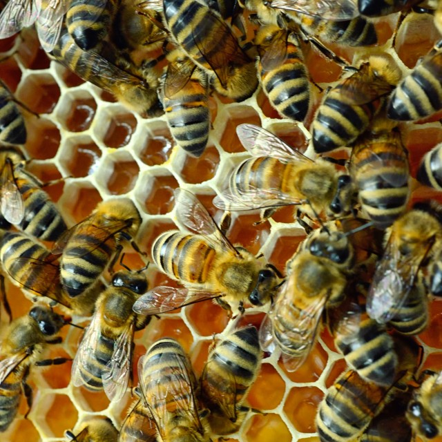 """Bees 15 full chambers"" stock image"