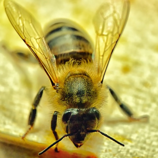 """Bees 19 close up"" stock image"