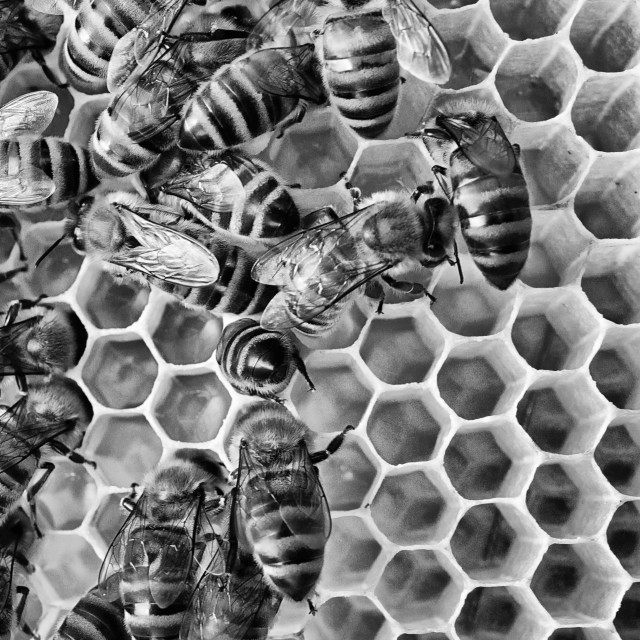 """Bees 16 B+W"" stock image"