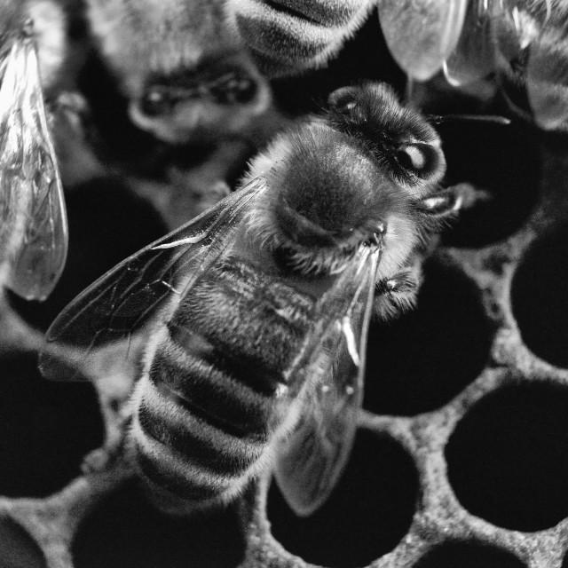 """Bee 27 B+W"" stock image"