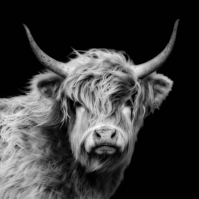 """Highland Cow In Black And White"" stock image"