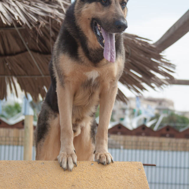 """german dog"" stock image"