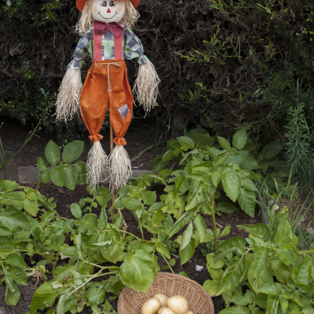 """Scarecrow in potato patch."" stock image"