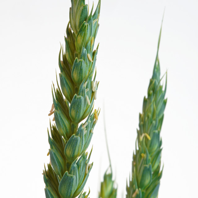 """""""An Unripe Ear of Wheat in Close Up. Isolated."""" stock image"""