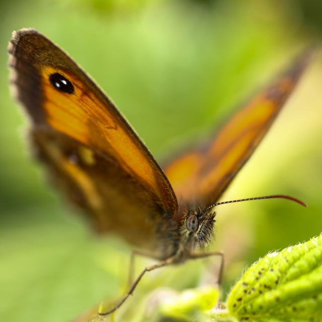 """""""Gatekeeper butterfly"""" stock image"""