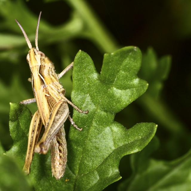 """""""Grasshopper resting"""" stock image"""