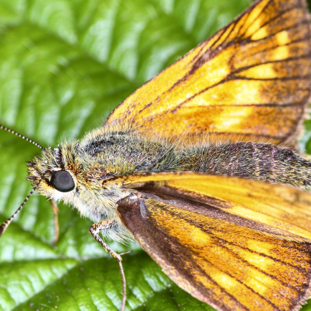"""""""Small skipper butterfly"""" stock image"""