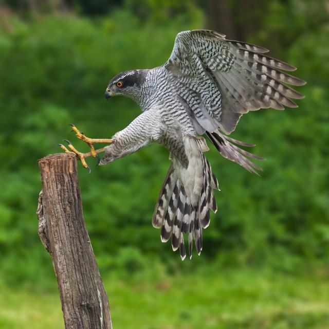 """Goshawk about to land on a tree stump."" stock image"