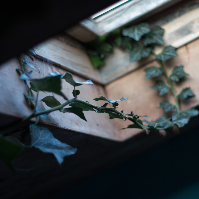 """""""ivy in window"""" stock image"""