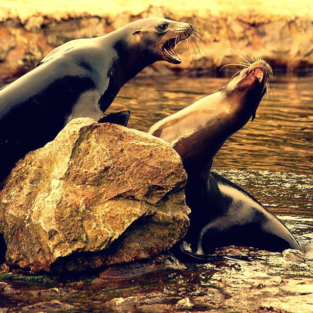 """sea lions"" stock image"