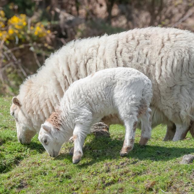 """""""sheep grazing"""" stock image"""