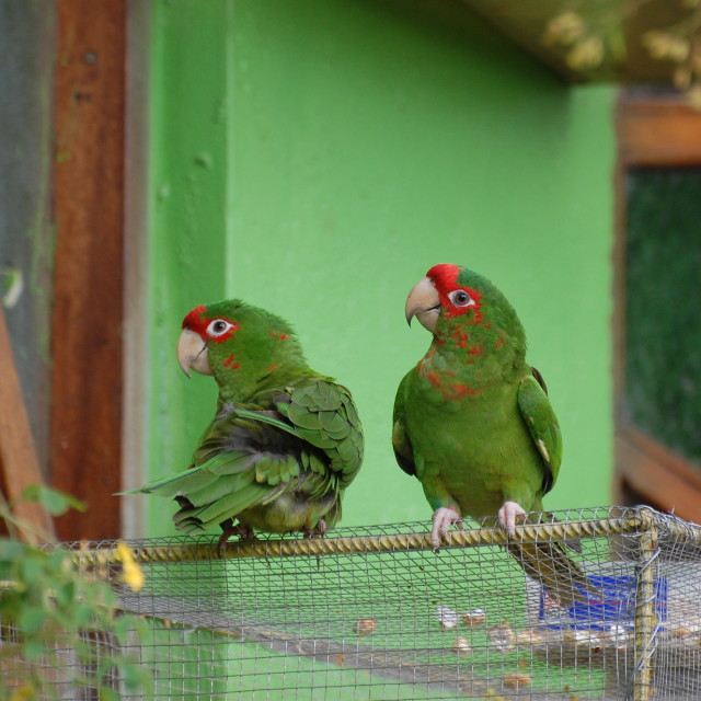 """RED FRONTED AMAZON PARROTS"" stock image"