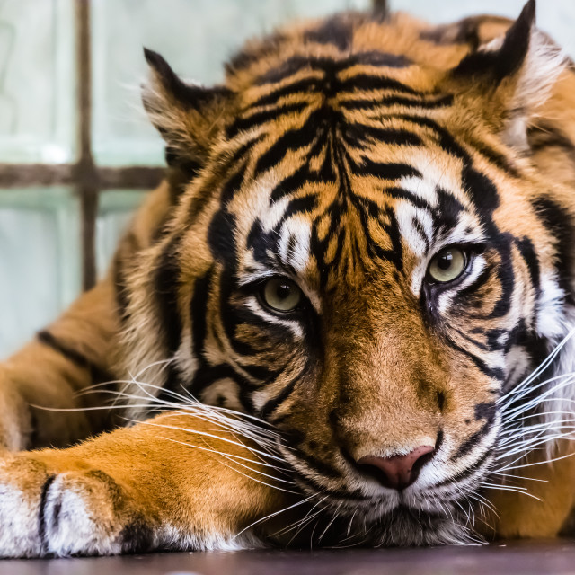 """Sad Tiger"" stock image"