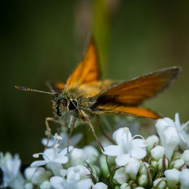 """Large skipper butterfly (Ochlodes venata )"" stock image"