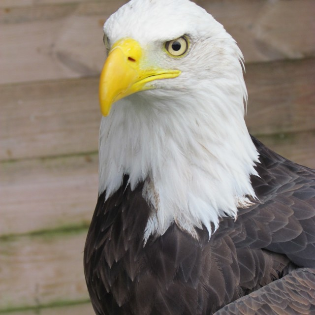 """Eagle"" stock image"