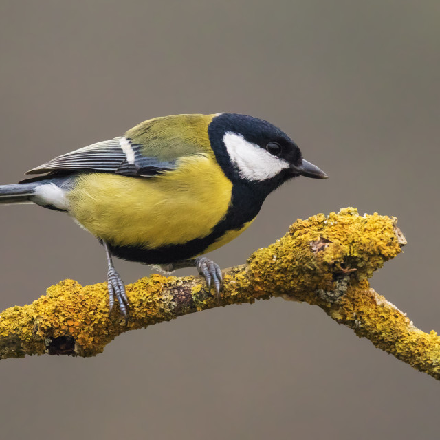 """Great Tit on a lichen covered branch"" stock image"