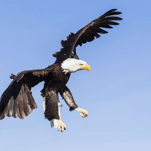 """""""Bald Eagle with its talons down"""" stock image"""