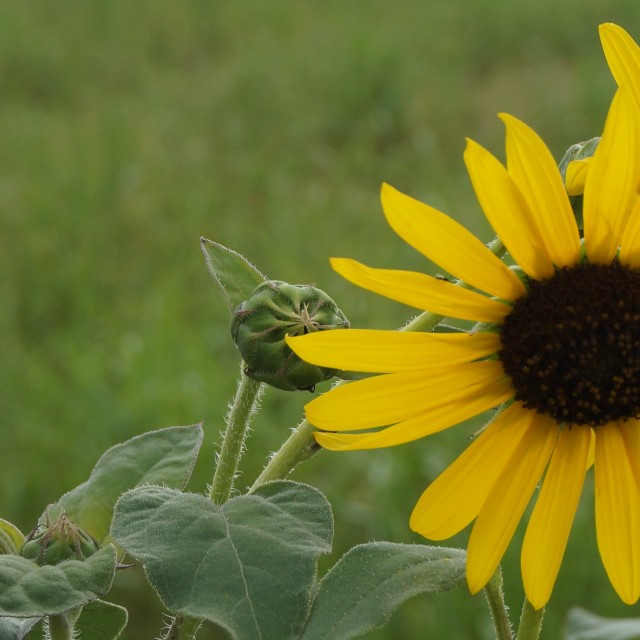 """Sunflower and blurred background"" stock image"