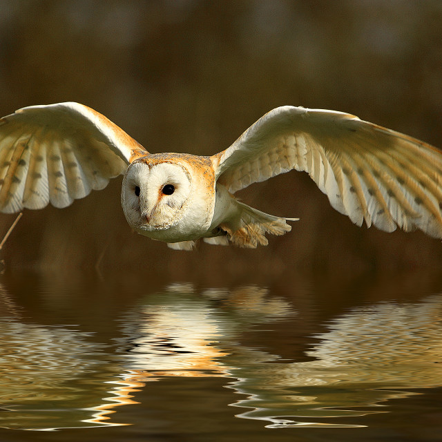 """Barn Owl Reflection"" stock image"