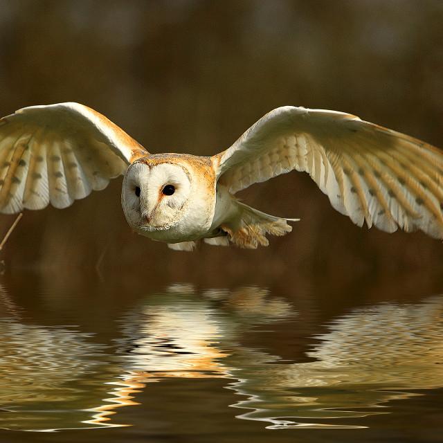 """Barn Owl Reflection"" stock image"