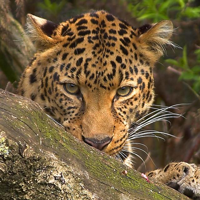 """""""Amur Leopard."""" stock image"""