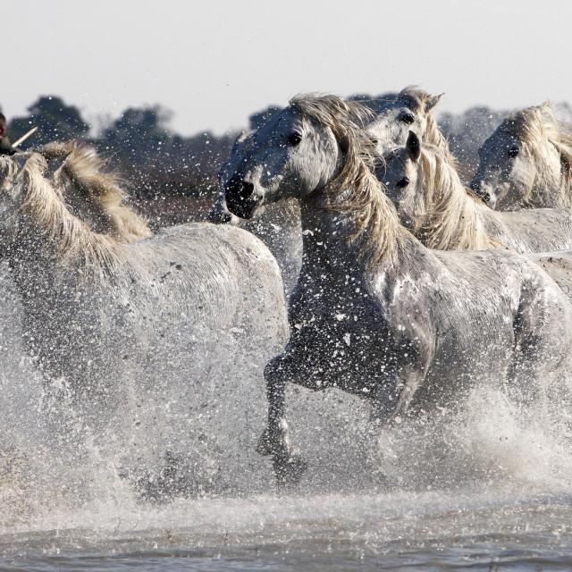 """""""Camargue White Horses."""" stock image"""