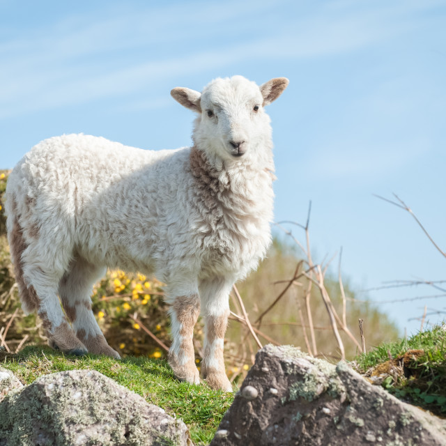 """lamb in springtime"" stock image"