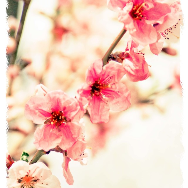 """Spring Blossoms"" stock image"
