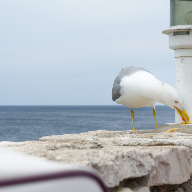 """""""Seagull Eating Food Residues"""" stock image"""